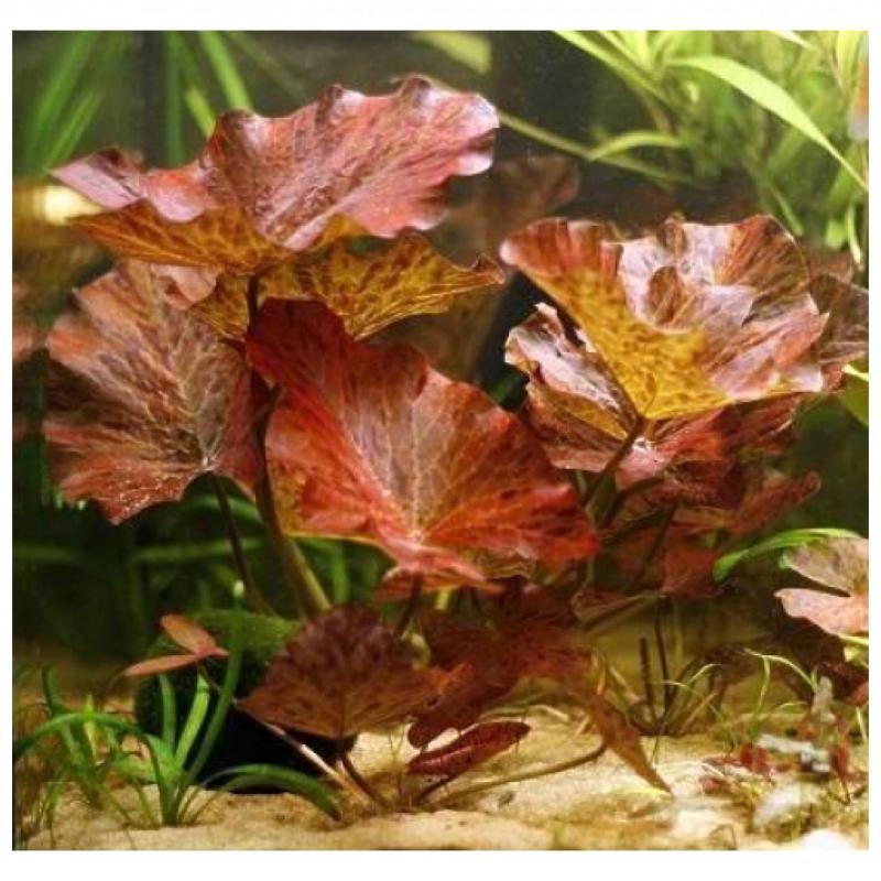 Rode Tijgerlotus