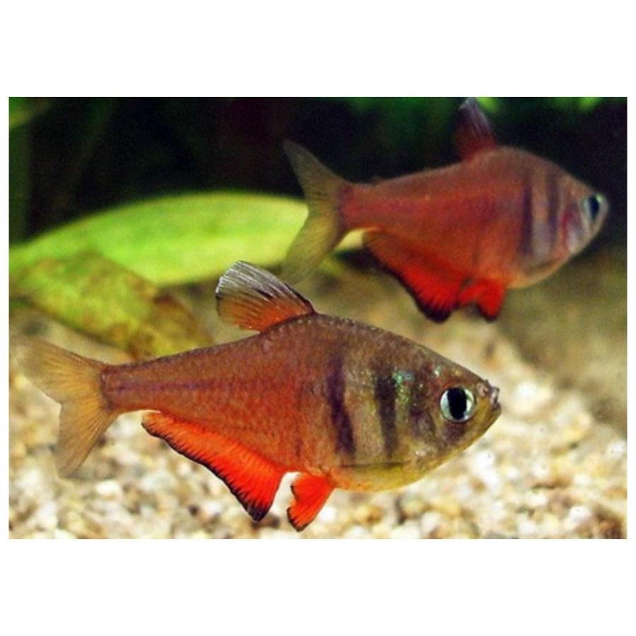 Rode Rio Hyphessobrycon flammeus