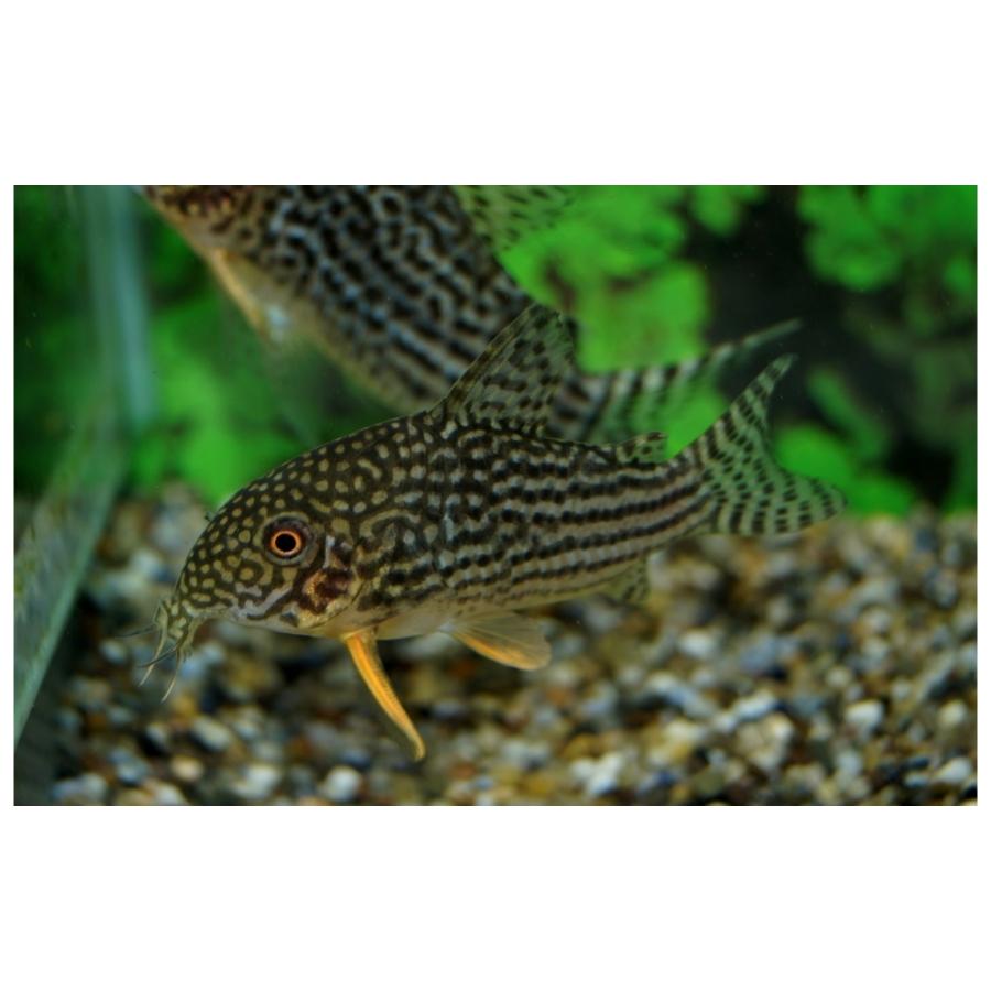 Corydoras Sterbai M