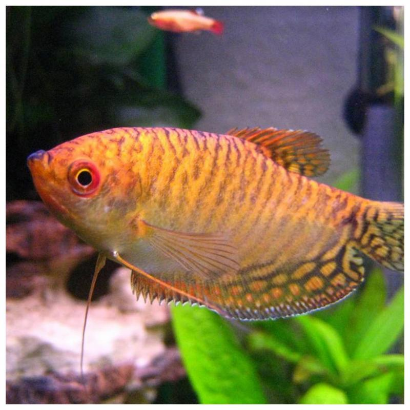 Trichopodus Trichopterus Gold M/l