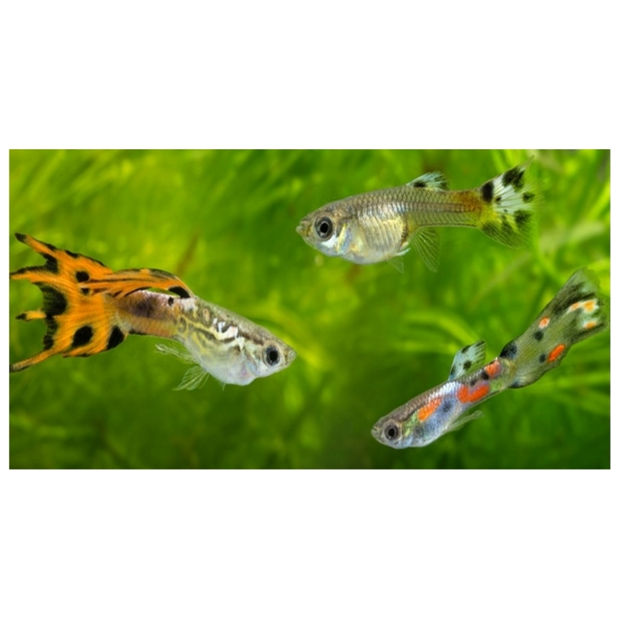 Endler Guppy mix