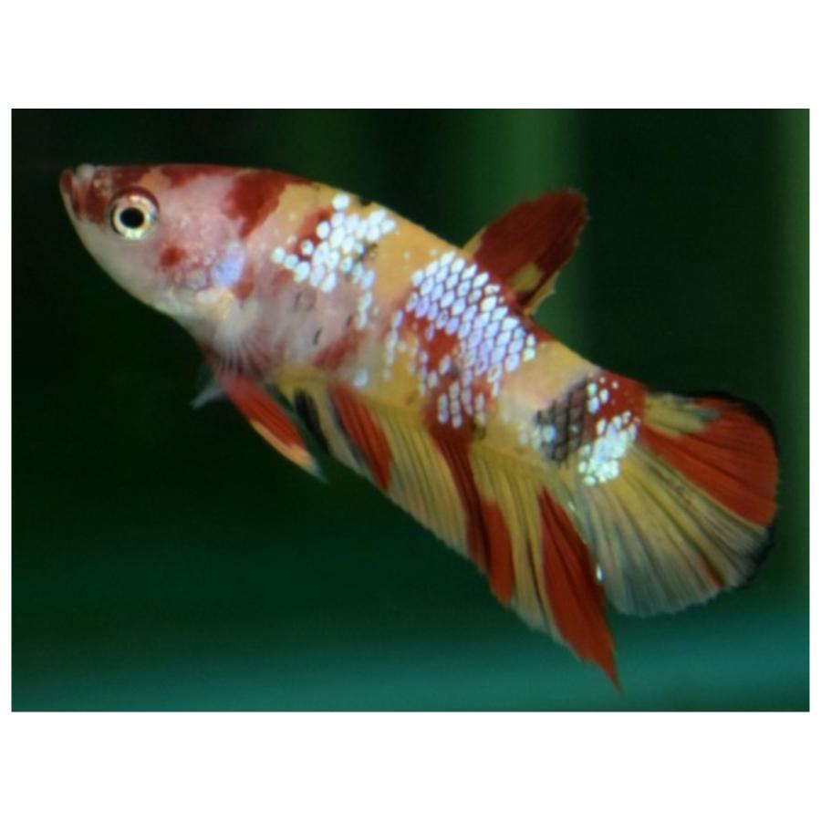 Betta Splendens Plakat Nemo Male L