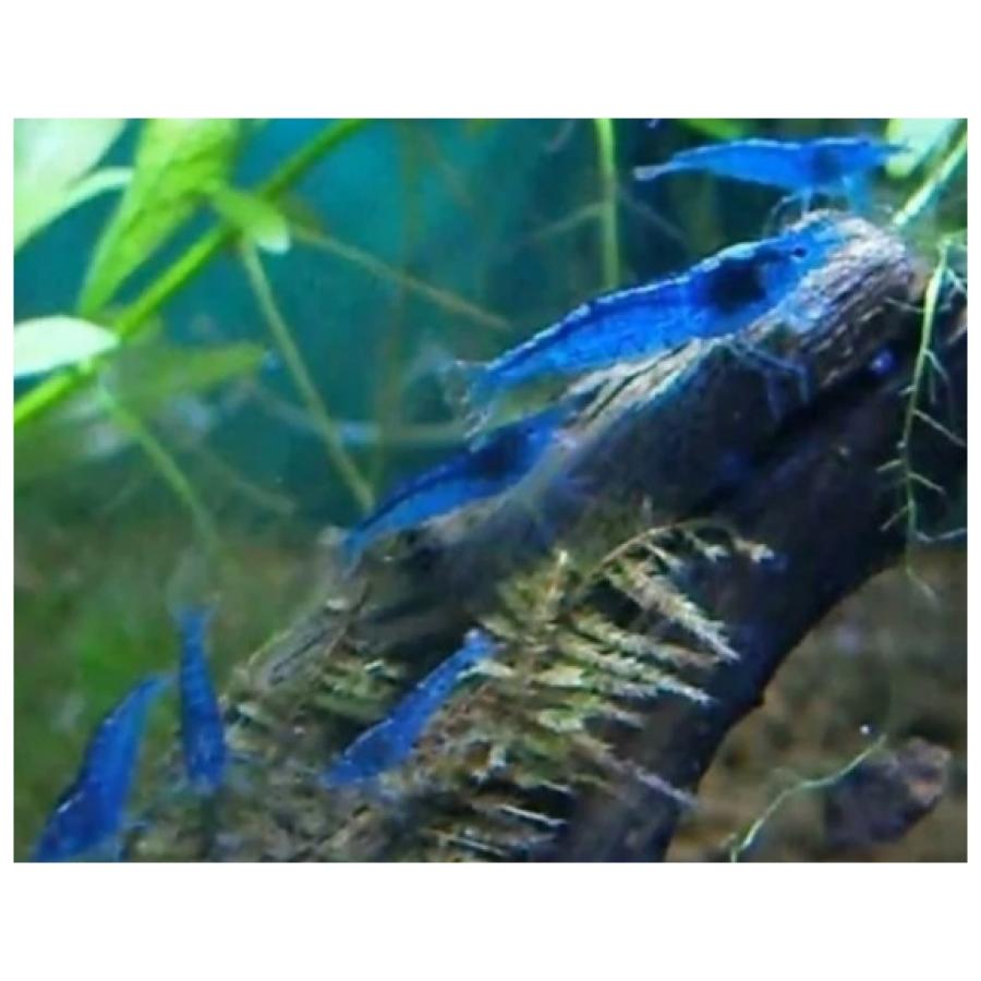 Blauwe garnaaltjes Neocaridina davidi var.