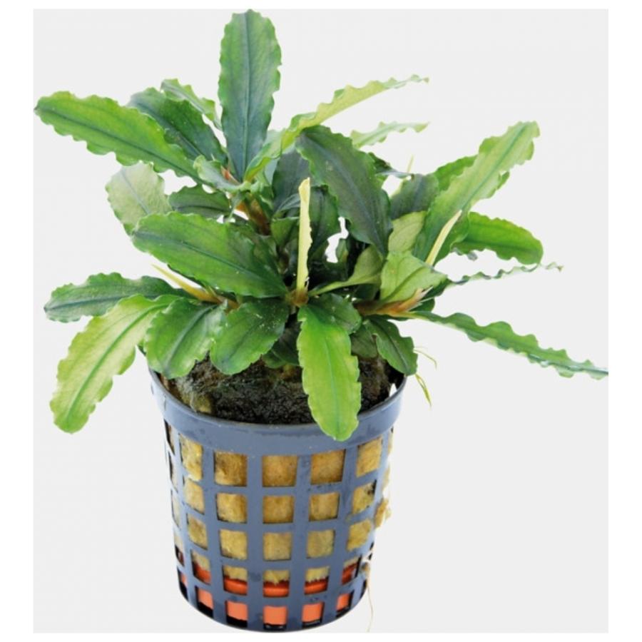 Bucephalandra Theia groen