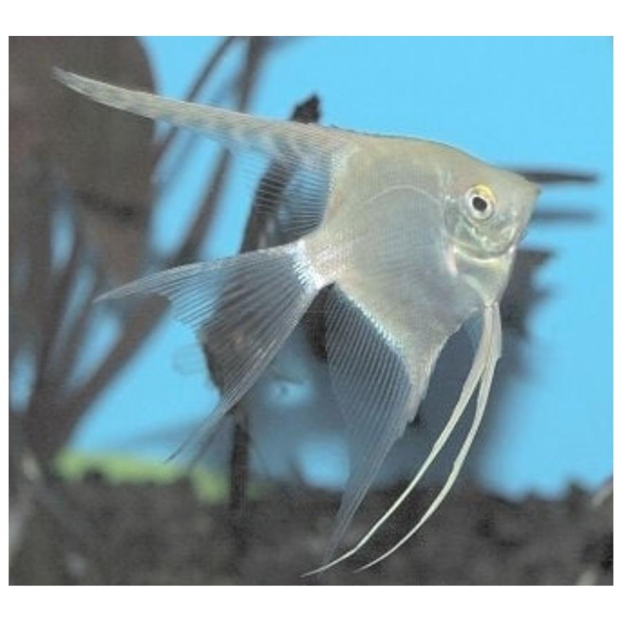 Maanvis blank Pterophyllum scalare M/L