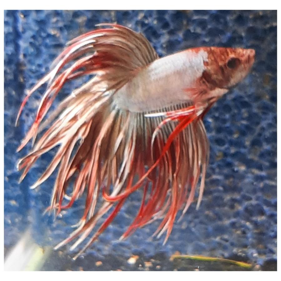 Diverse soorten Kempvissen Betta (mannelijk)