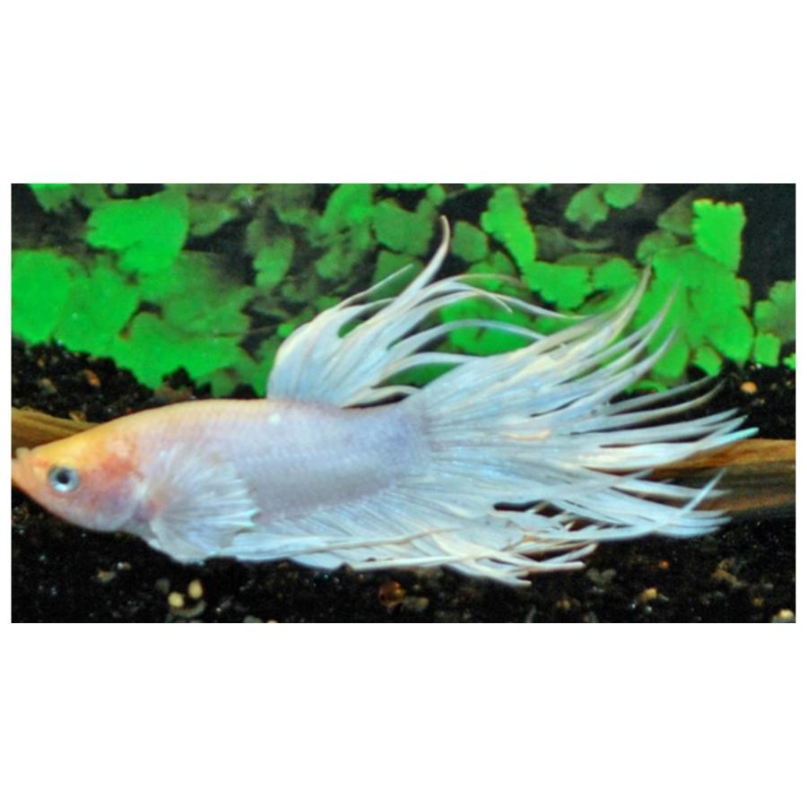 Betta Splendens Crowntail White Male L