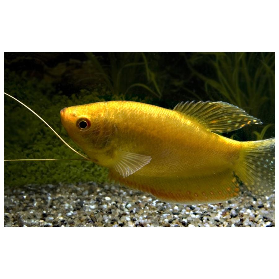 Trichopodus Trichopterus Gold M