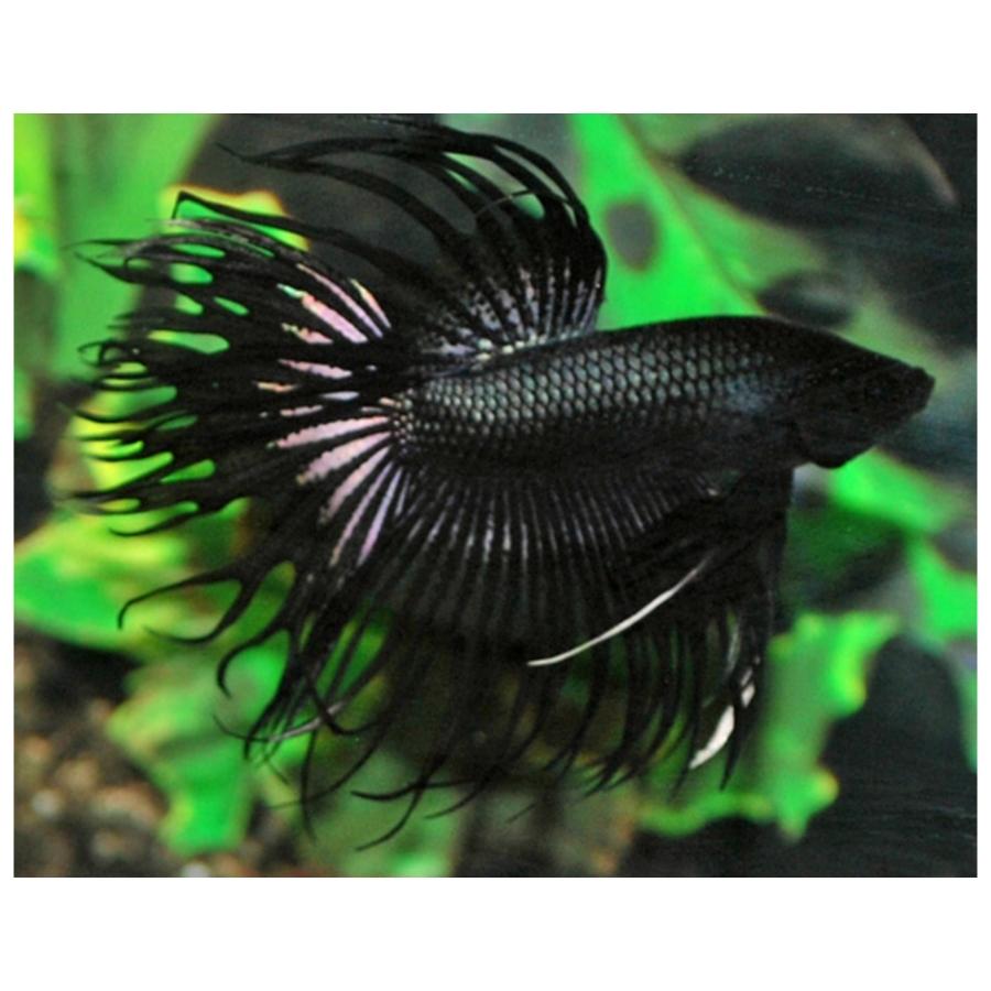 Betta Splendens Crowntail Black Male L