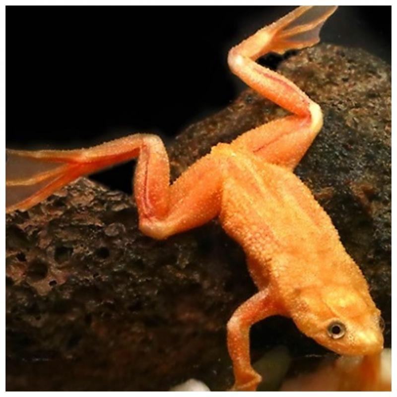 Dwergklauwkikker Hymenoochirus Boettgeri Gold