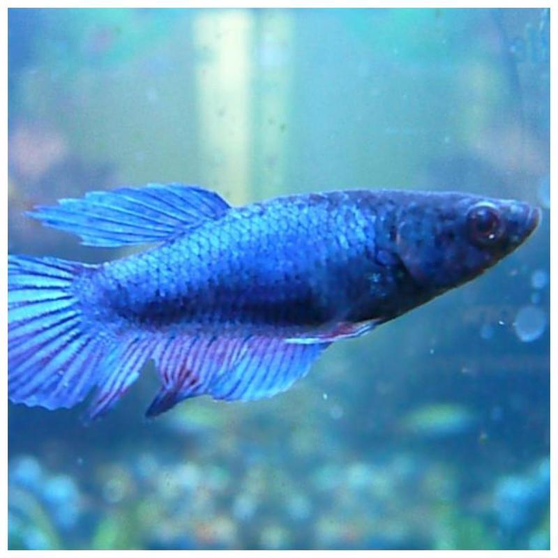Diverse soorten Kempvissen Betta (vrouwelijk)