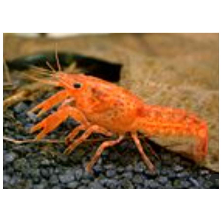 Cambarellus Patzcuarensis Orange M