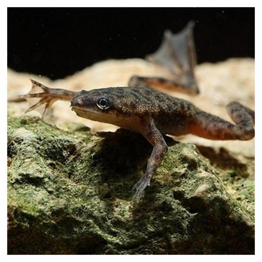 Dwergklauwkikker Hymenoochirus Boettgeri